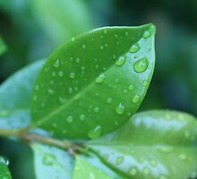 Close Up of Leaves  by macaus18