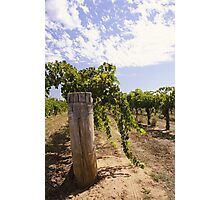 vineyard post Photographic Print