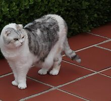 My Scottish Folds by Bennymiata