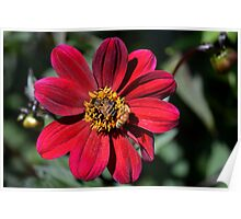 Two Bees on Red Dahlia Flower Poster