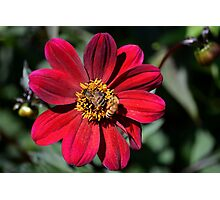 Two Bees on Red Dahlia Flower Photographic Print