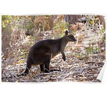 Swamp Wallaby Poster