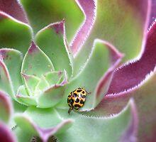 Ladybird in Aeonium by stevenwells