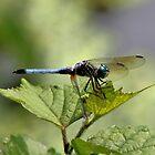 Blue Dragonfly by SuddenJim