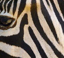 zebra by adam63745