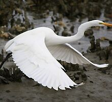 Egret flying over the Oyster Beds by Paulette1021