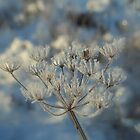 Frosted Seed Heads by Karen Martin IPA