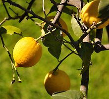 Italian Lemons in Cinque Terre by kweirich