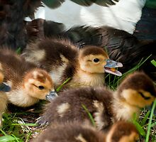 Baby Ducks by imagetj