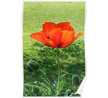Pretty Poppy Poster