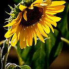 Summer Sunflower by Sharlene Rens