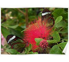 GlassWing Butterflies Poster