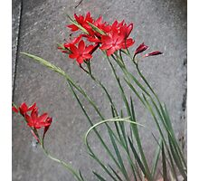 Red Flowers and the Grey Pavement Photographic Print