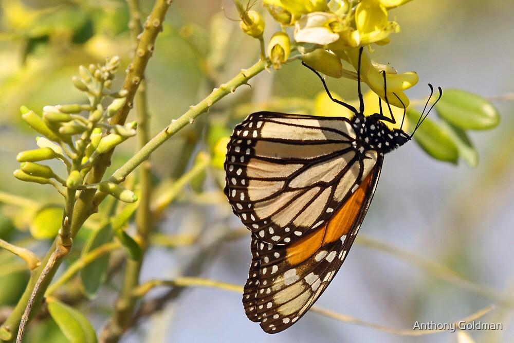 Monarch butterfly at honeymoon island by jozi1
