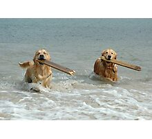 Golden Retrievers - retrieving sticks Photographic Print