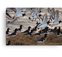 european oystercatchers brusting into flight Canvas Print