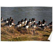 european oystercatchers Poster
