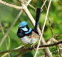 Superb Fairy wren by Doug Cliff