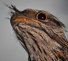 The Intriguing Tawny Frogmouth by Rebecca Holman