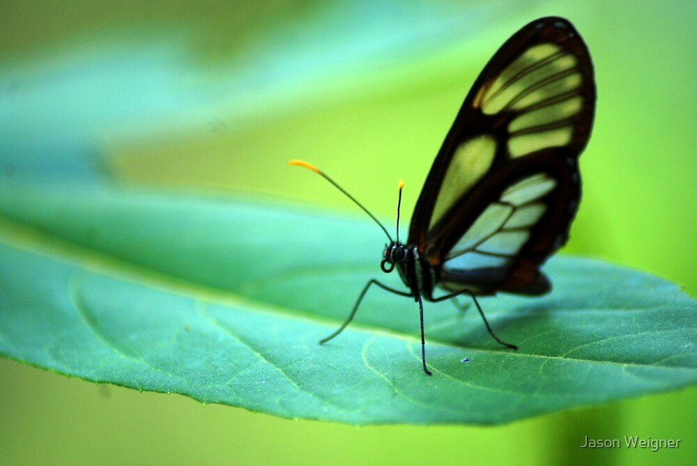 Glasswing Butterfly - Bolivia by Jason Weigner