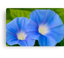 Pair of Blue Morning Glories Canvas Print