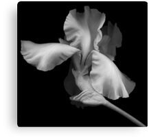 Elegant Bearded Iris Canvas Print