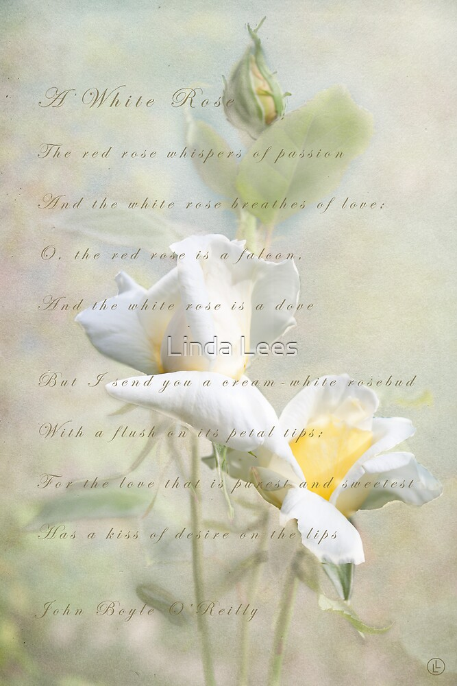 A White Rose by Linda Lees