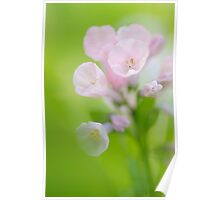 Pink Virginia Blue Bells Poster