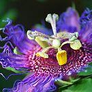 Purple Passion - Bolivia by Jason Weigner