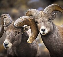 Bighorn Brothers by ShotByAWolf