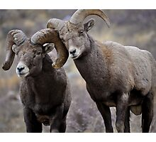 Affectionate Rams Photographic Print