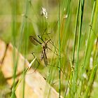 Crane Fly by Ron Co