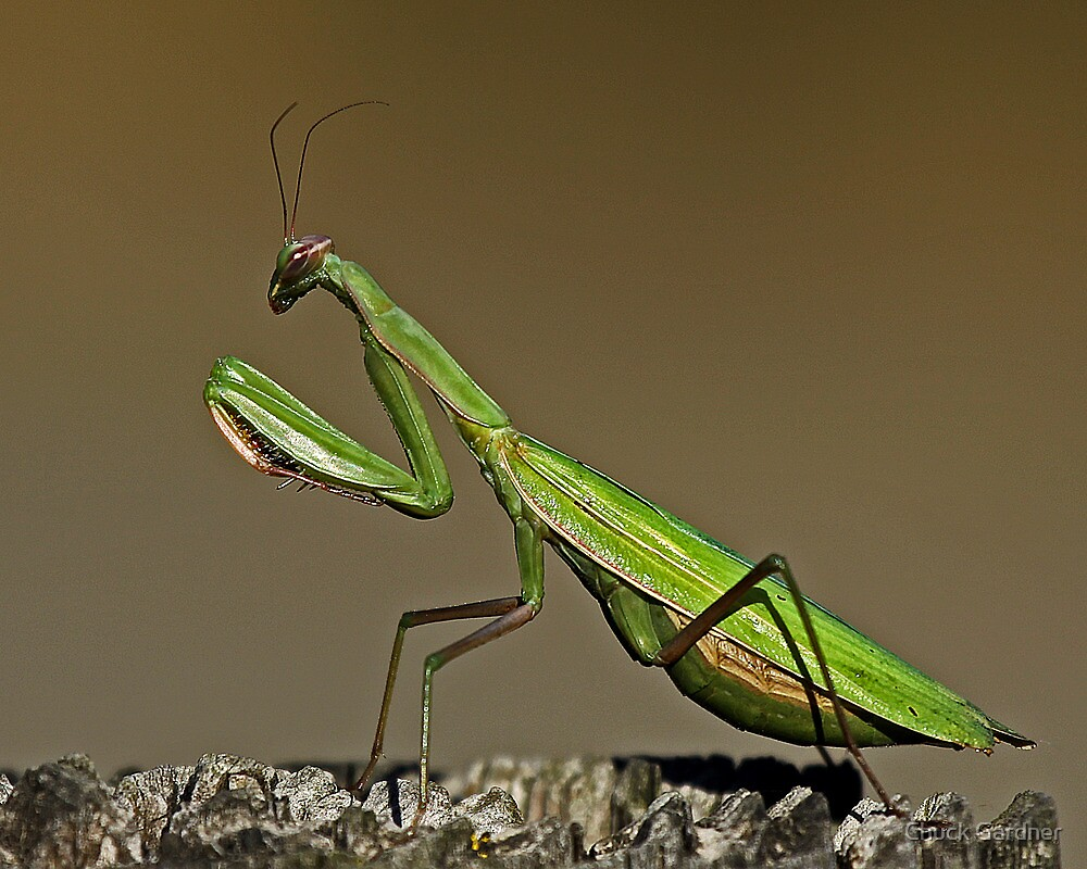 Praying Mantis Waiting to be Bugged  by Chuck Gardner
