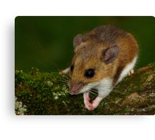 White-footed Mouse Praying  Canvas Print