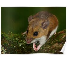 White-footed Mouse Praying  Poster