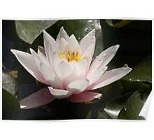 serenity on a lily pad Poster