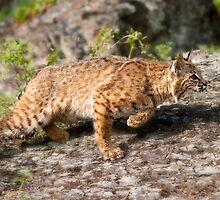 On the Prowl by kudzu