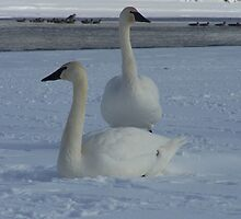 a pair of white trumpeter swans by vernonite