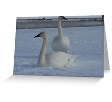 a pair of white trumpeter swans Greeting Card