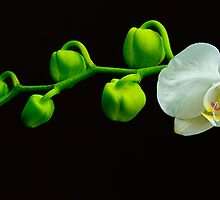 White Orchid with Buds by Floyd Hopper
