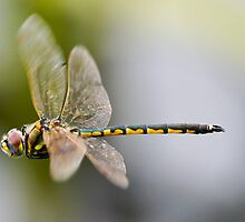 Dragonfly -crop  by Ron Co