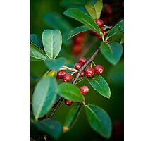 Autumn Olives Photographic Print