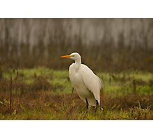 Egret in the Wetlands Photographic Print