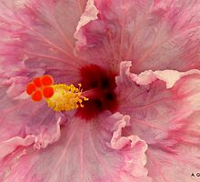 Up, Close - Pink Hibiscus by Angela Gannicott