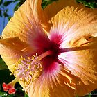 Golden Yellow Hibiscus by ange2