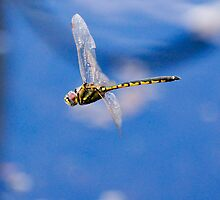 Dragonfly at Oatlands ,Tasmania by Ron Co