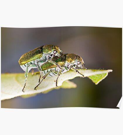 Green Scarab Beetles - Diphucephala sp. Poster
