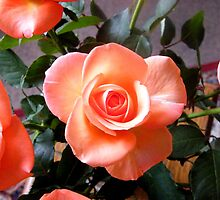Peach Roses by Shoshonan
