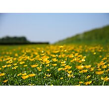 Buttercups in the field Photographic Print