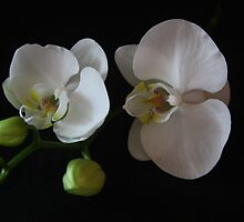 Orchids & buds by Jenny Norris